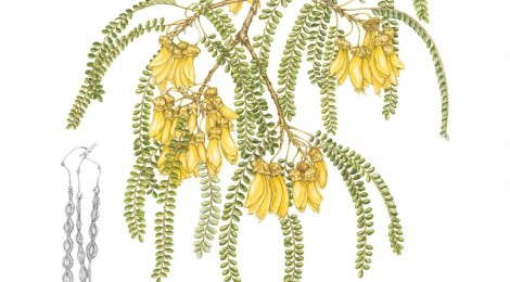Sophora microphylla by Jo Ogier